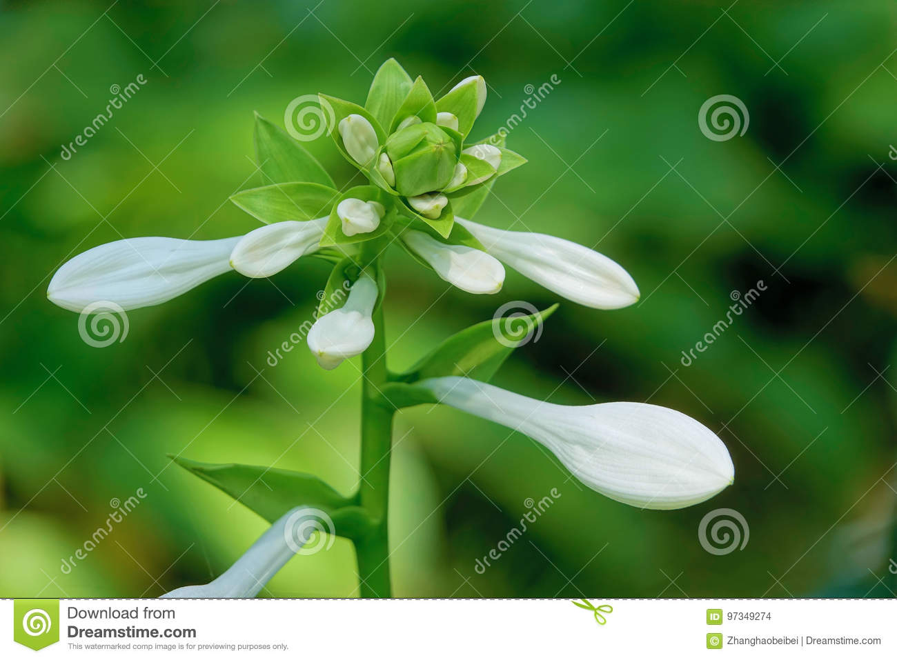 White flowers stock photo image of flowers white flower 97349274 the close up of flowers of fragrant plantain lily scientific name hosta plantaginea mightylinksfo