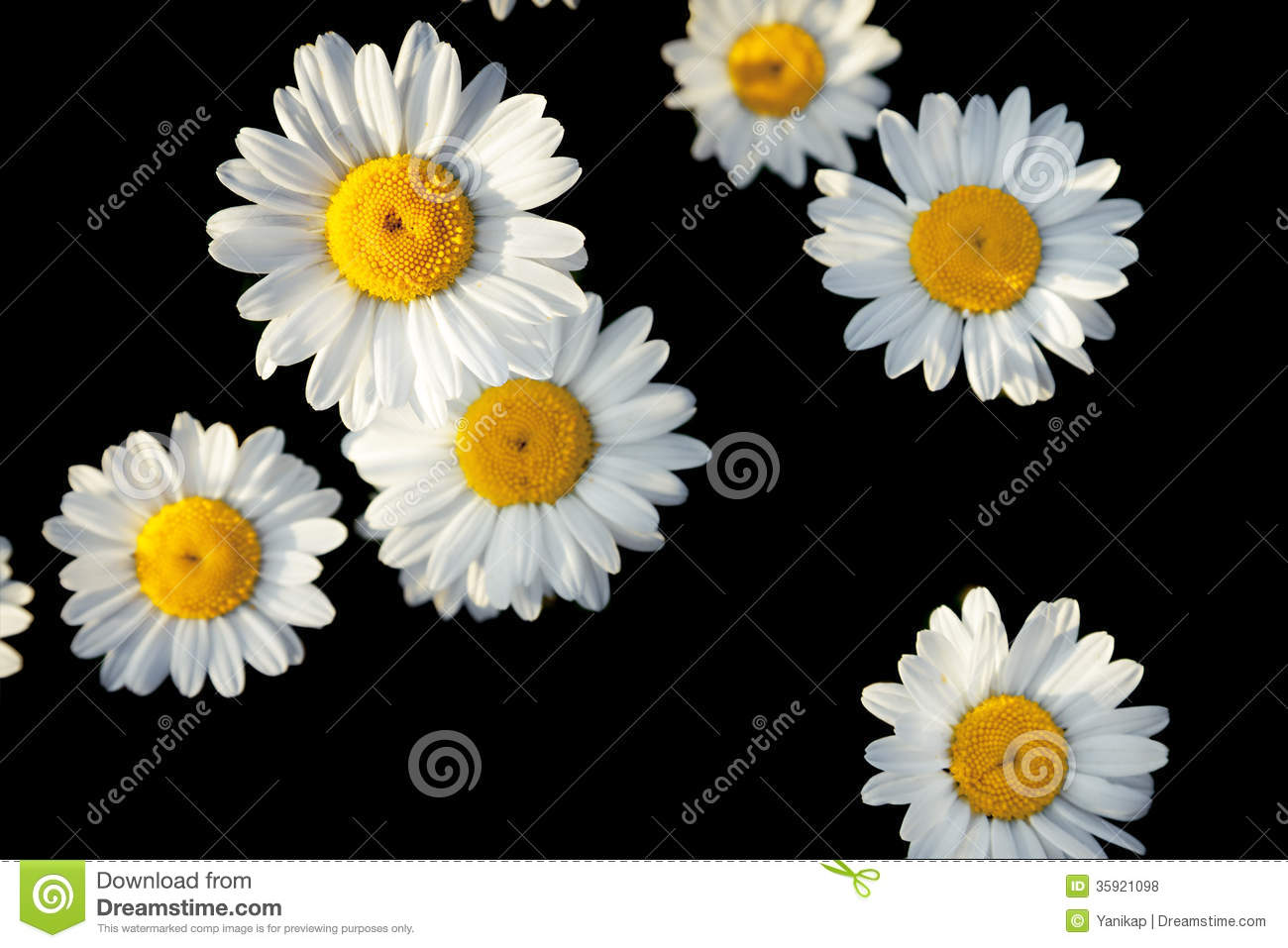 White Flowers Of Daisies On A Black Background Royalty ...