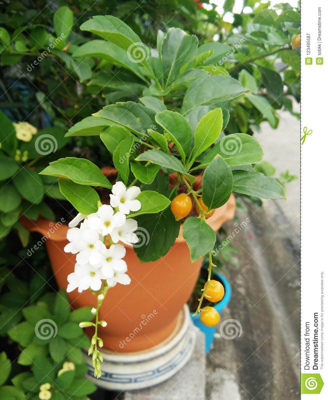 White flowers of duranta erecta or golden dewdrop or skyflower tree blossom white flowers of duranta erecta or golden dewdrop or skyflower tree yellow fruits drop of candle in thai name on orange pot and blurred background mightylinksfo