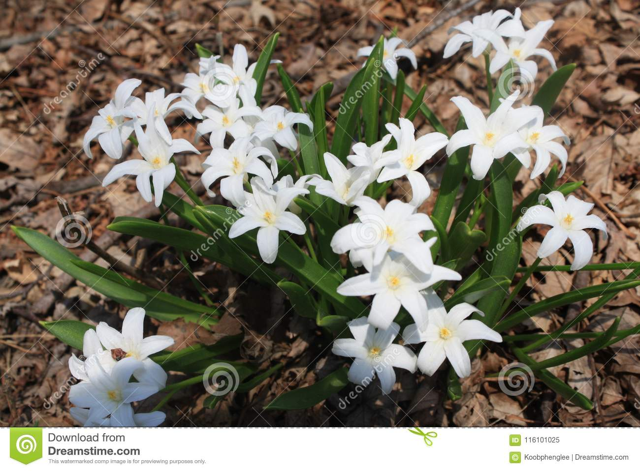 White Flowers In Early Spring Afternoon Stock Image Image Of