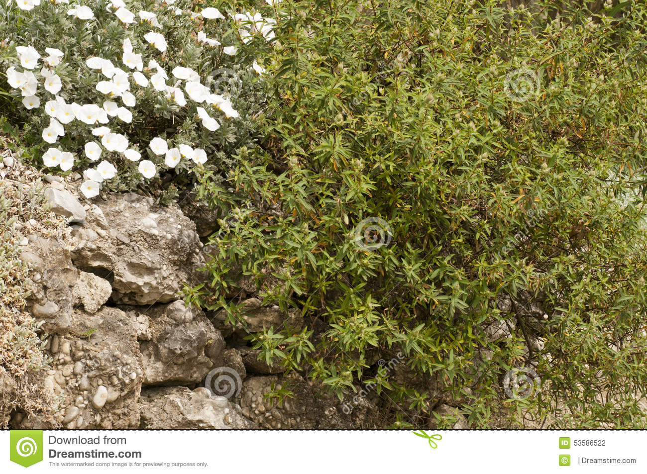 White flowers and evergreen bush in the rock stock photo image of download comp mightylinksfo