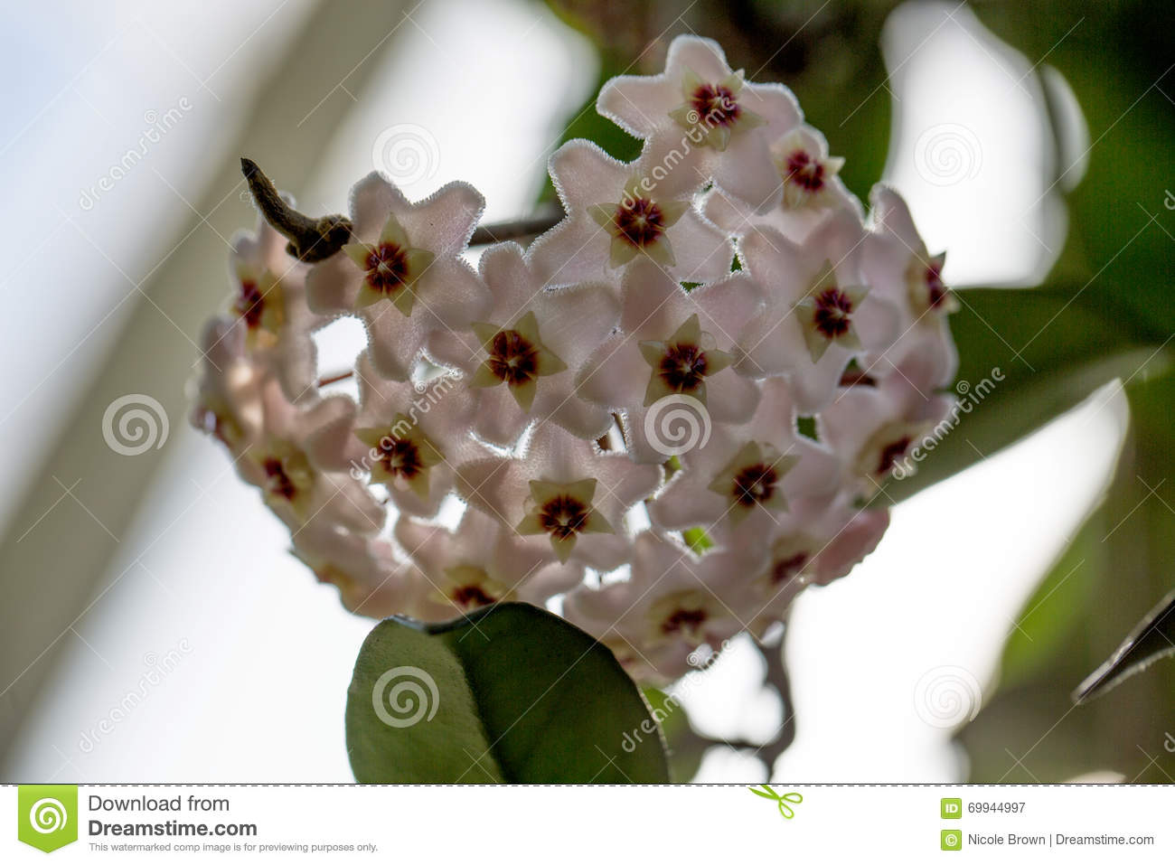 White Flowers Stock Image Image Of Annual Orchids Blossom 69944997