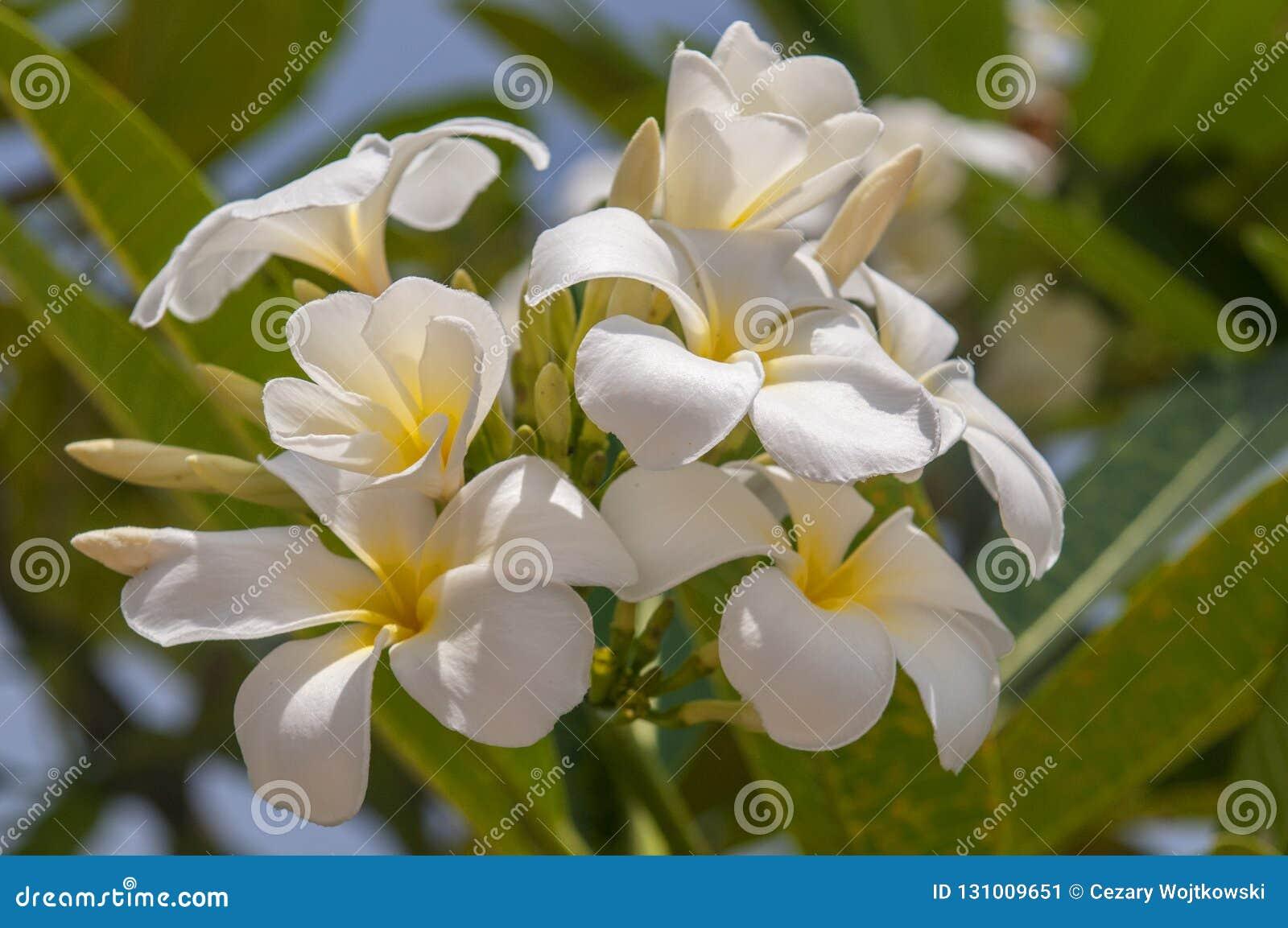 White Flowers On A Frangipani Tree White Plumeria An Ornamental