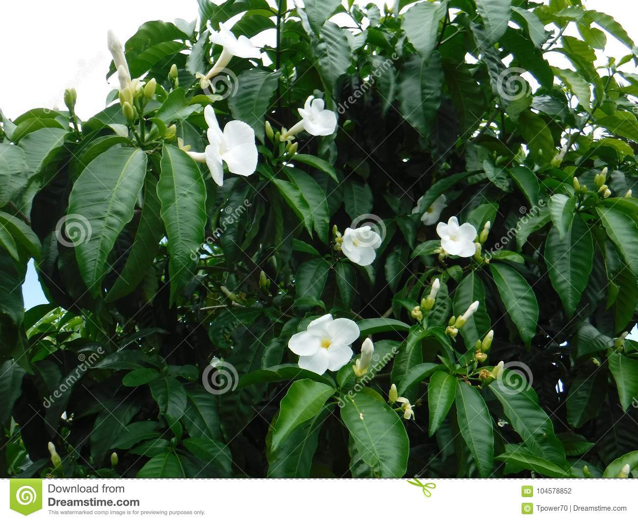 White Flowers On A Green Leafy Tree Stock Photo Image Of Hawaii