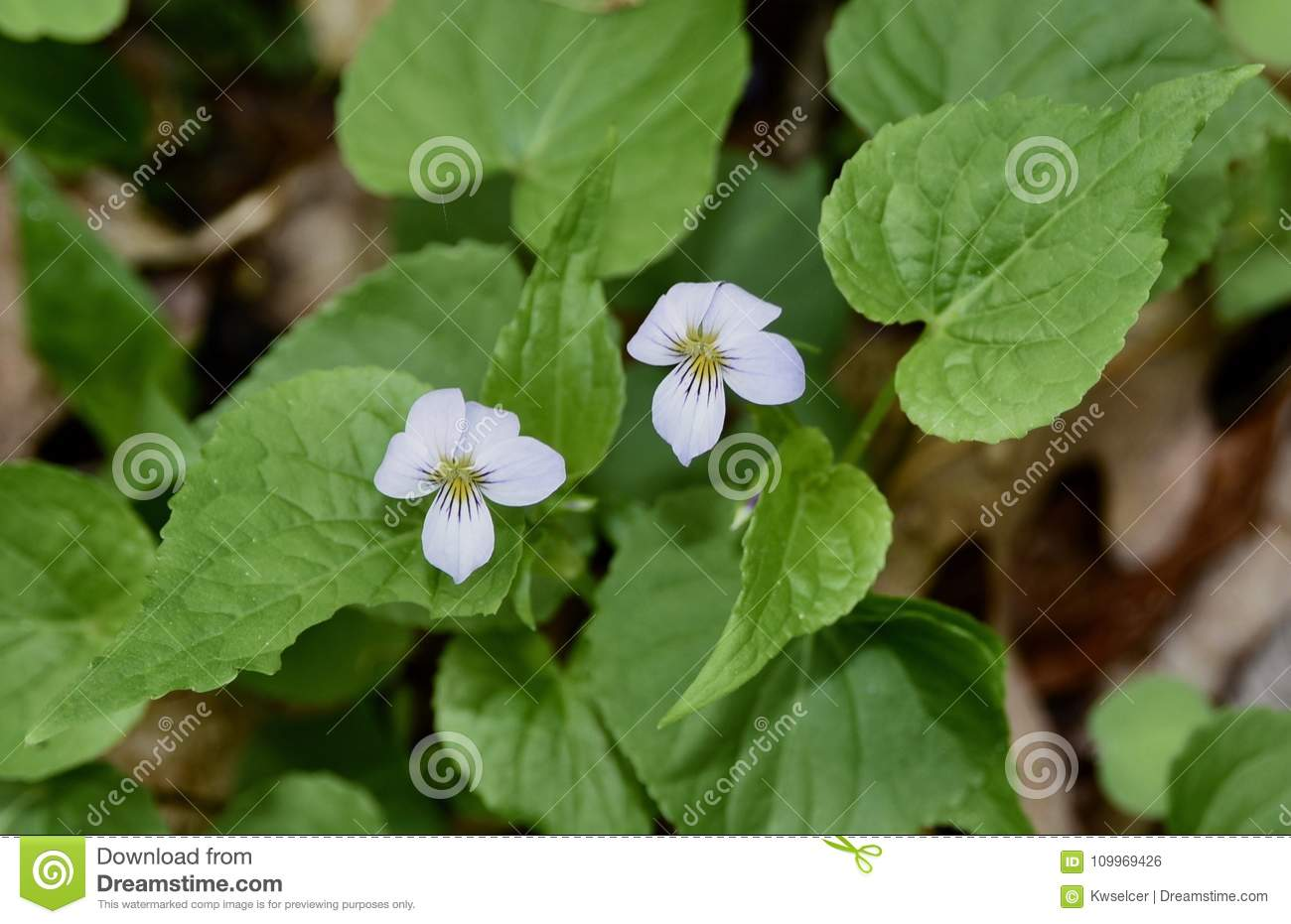 Dainty White Flowers Of Canada Violet Stock Photo Image Of Leaves