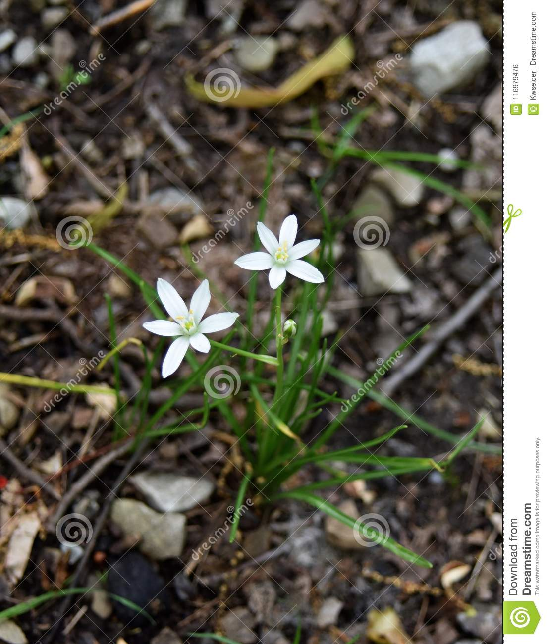White Flowers And Green Leaves Of A Star Of Bethlehem Plant In A