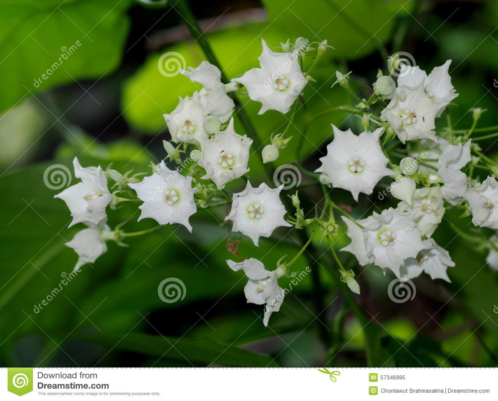 White Flowers Stock Image Image Of Cerbera Flowers 57346995
