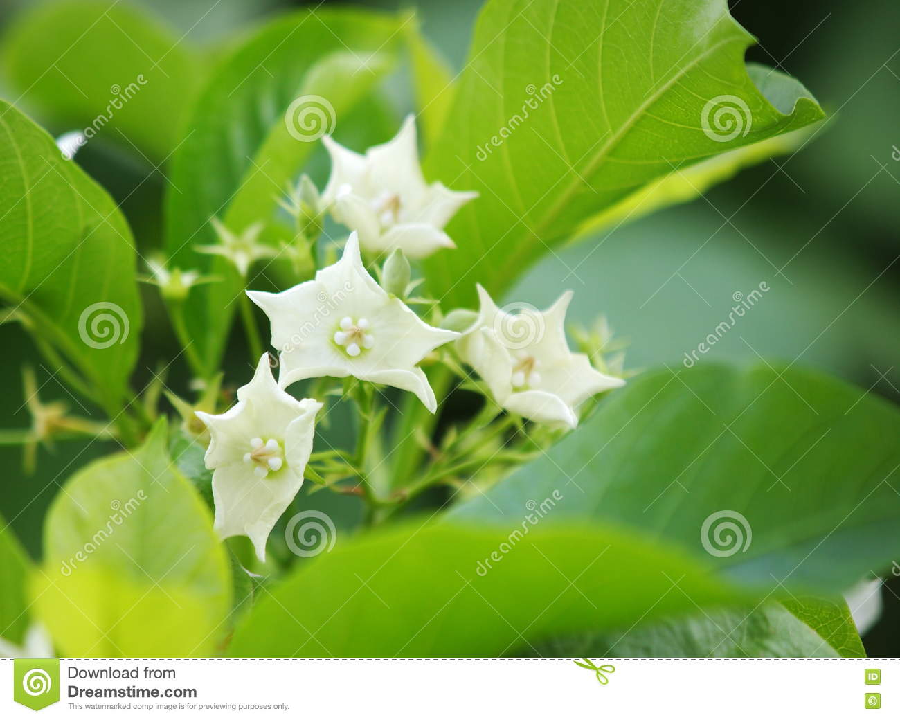 White Flowers Stock Photo Image Of Color Garden Floral 70370868