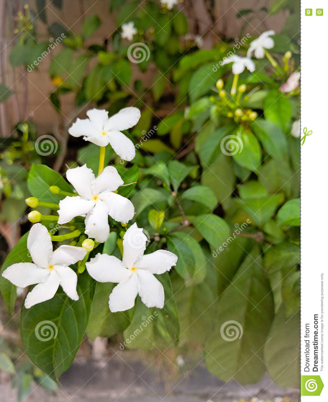White Flowers Stock Photo Image Of Background Leaves 77780394