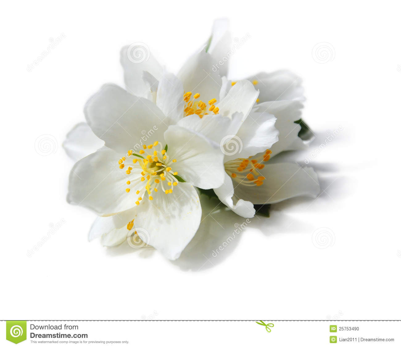 White Flowers Of Jasmine On The White Background Stock
