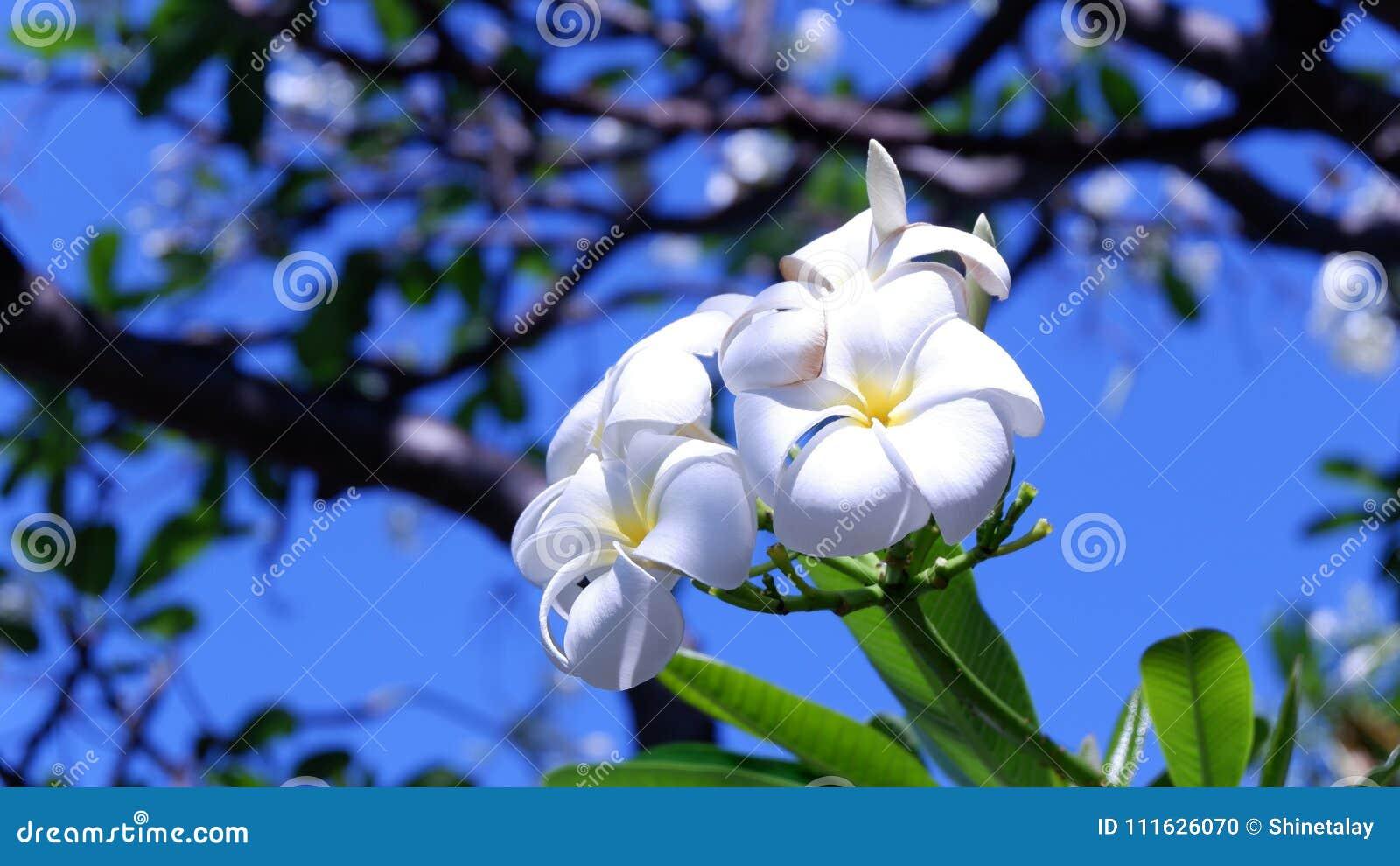 White Flowers Leelawadee Or Frangipani Stock Photo Image Of Moths