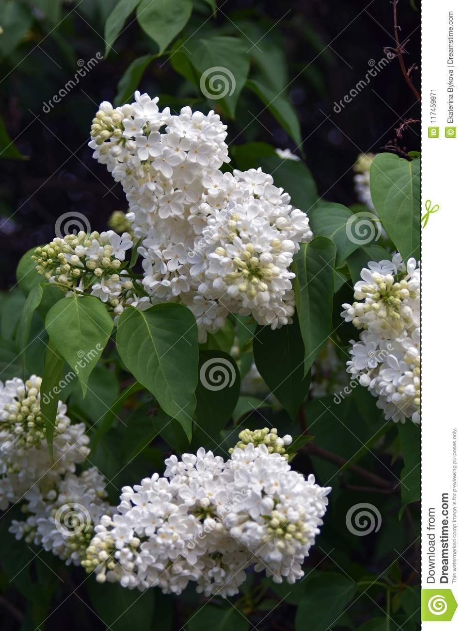 White flowers of lilac trees taken in lilac garden in moscow stock lilac trees taken in lilac garden in moscow color photo the garden is famous by the fact that many kinds of lilac can be seen in the garden mightylinksfo