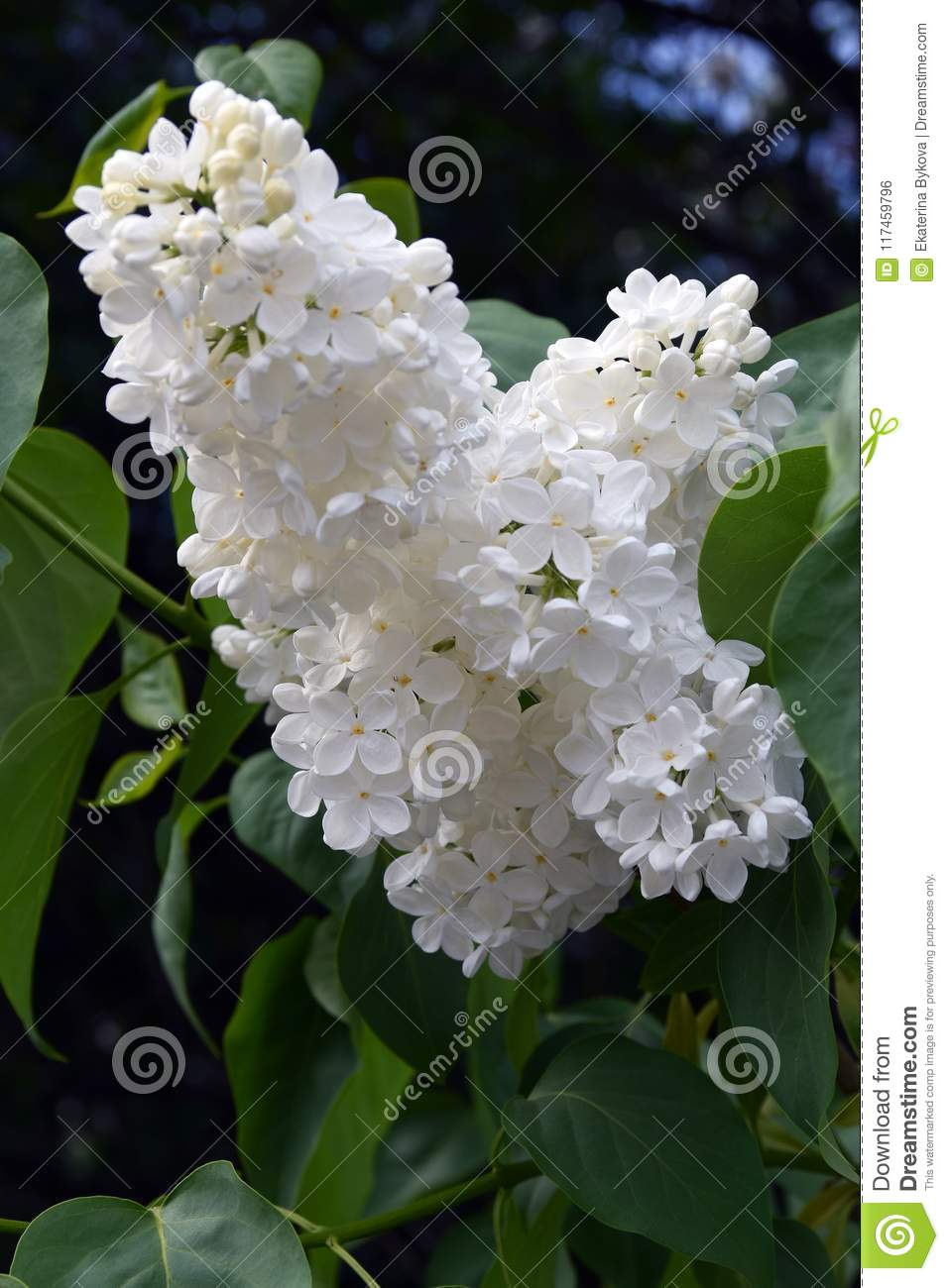 White Flowers Of Lilac Trees Taken In Lilac Garden In Moscow Stock