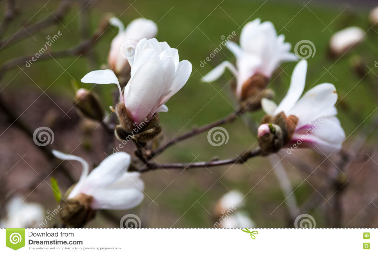 White Flowers Of The Magnolia Tree In Early Spring Stock Photo