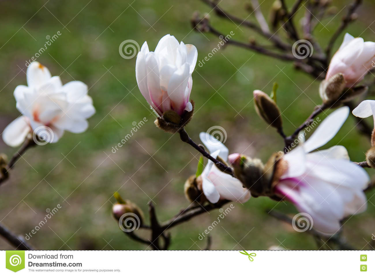 White Flowers Of The Magnolia Tree In Early Spring Stock Image