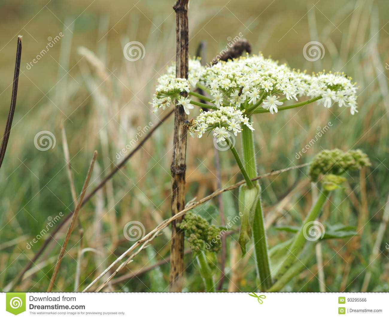 White Flowers In A Marsh Stock Photo Image Of Flowers 93295566
