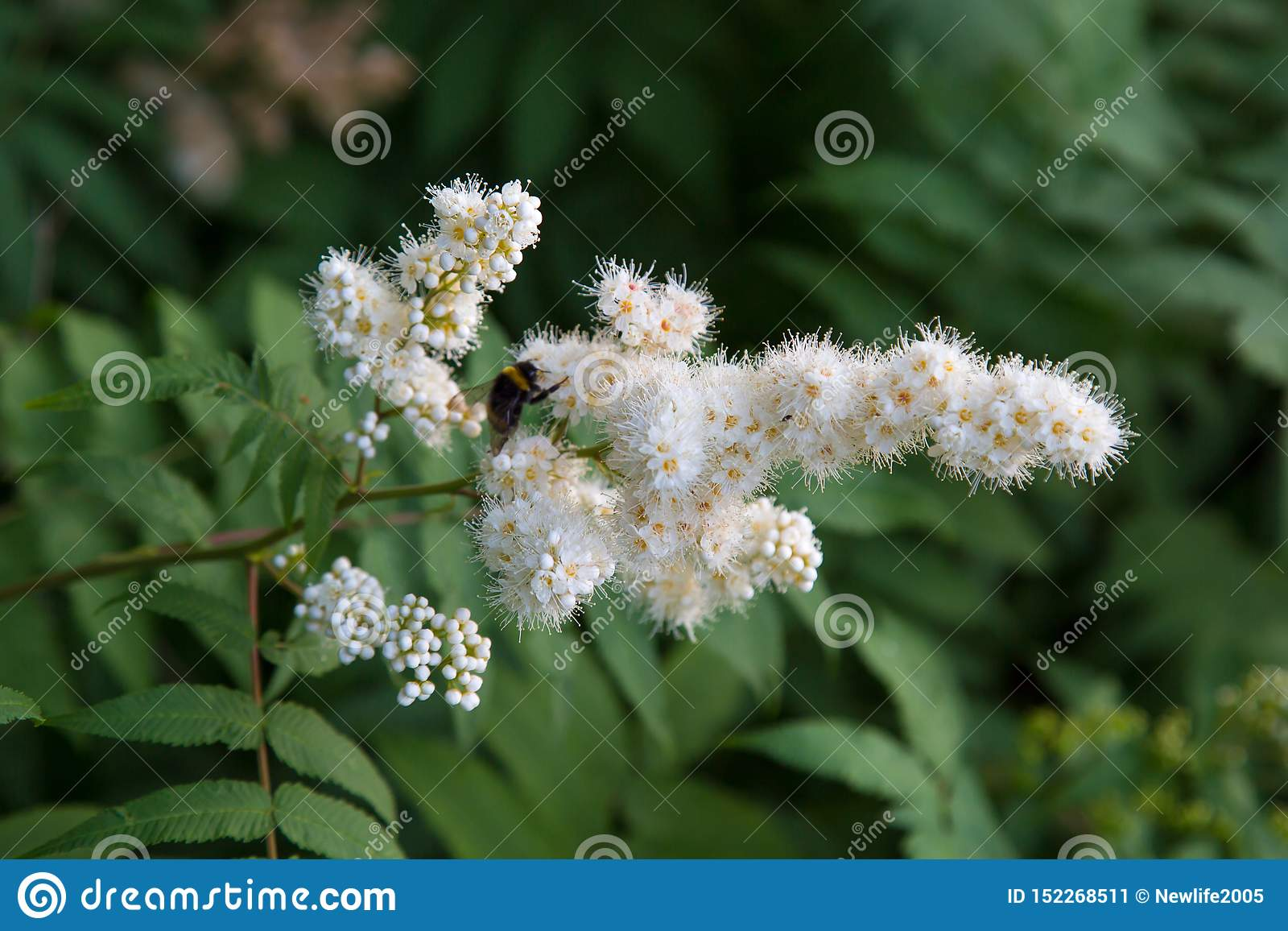 White flowers of a mountain ash with a bumblebee on a background of green leaves. Selective focus.