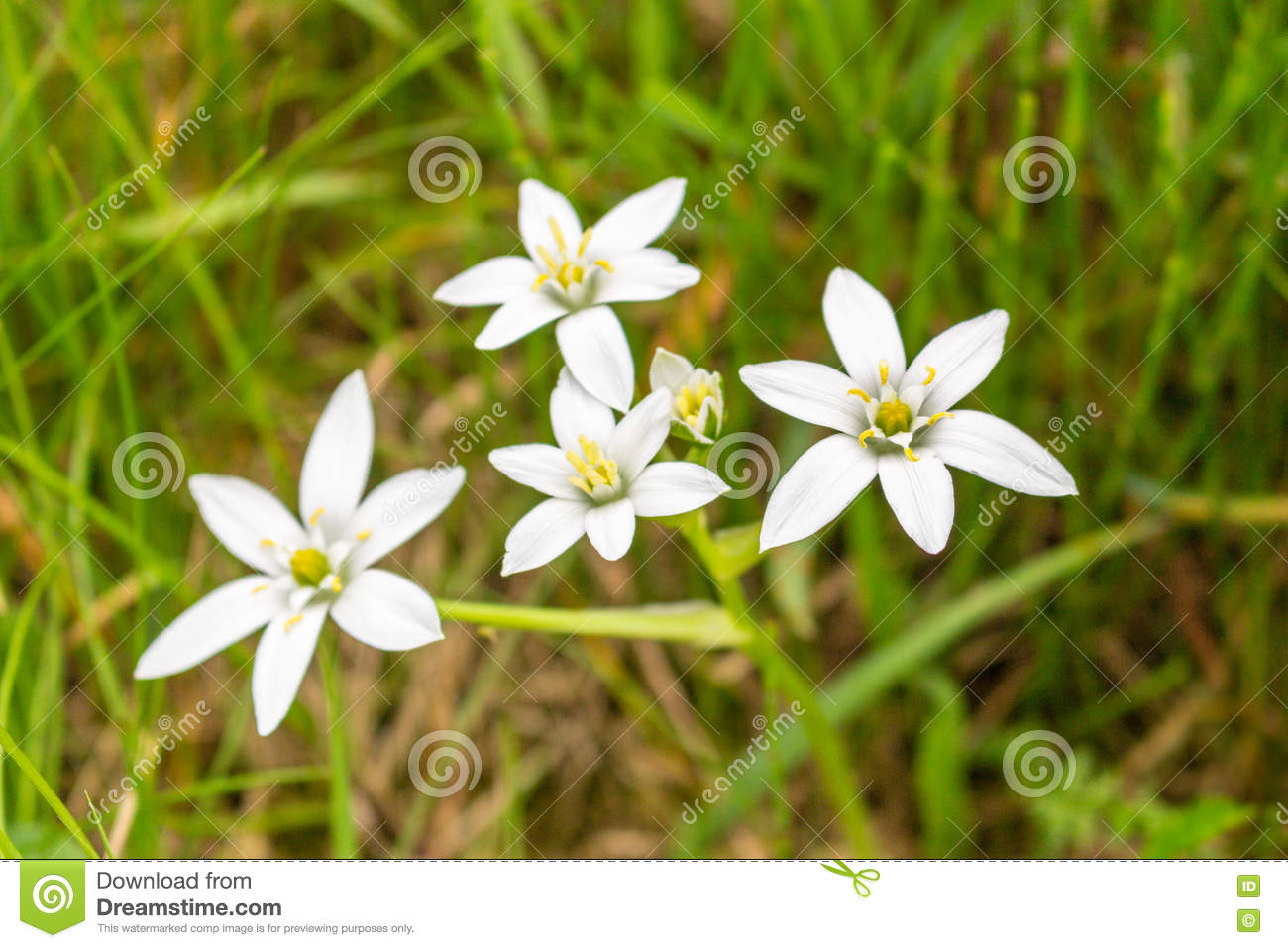White Flowers With 6 Petals Stock Photo Image Of Pistil Stamen