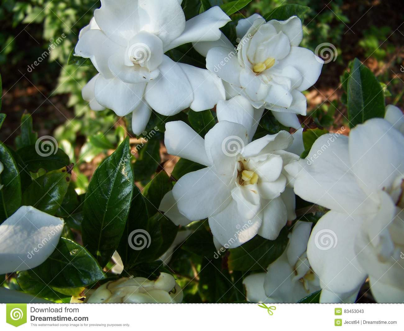 White flowers stock image image of niagra flowers water 83453043 download comp mightylinksfo