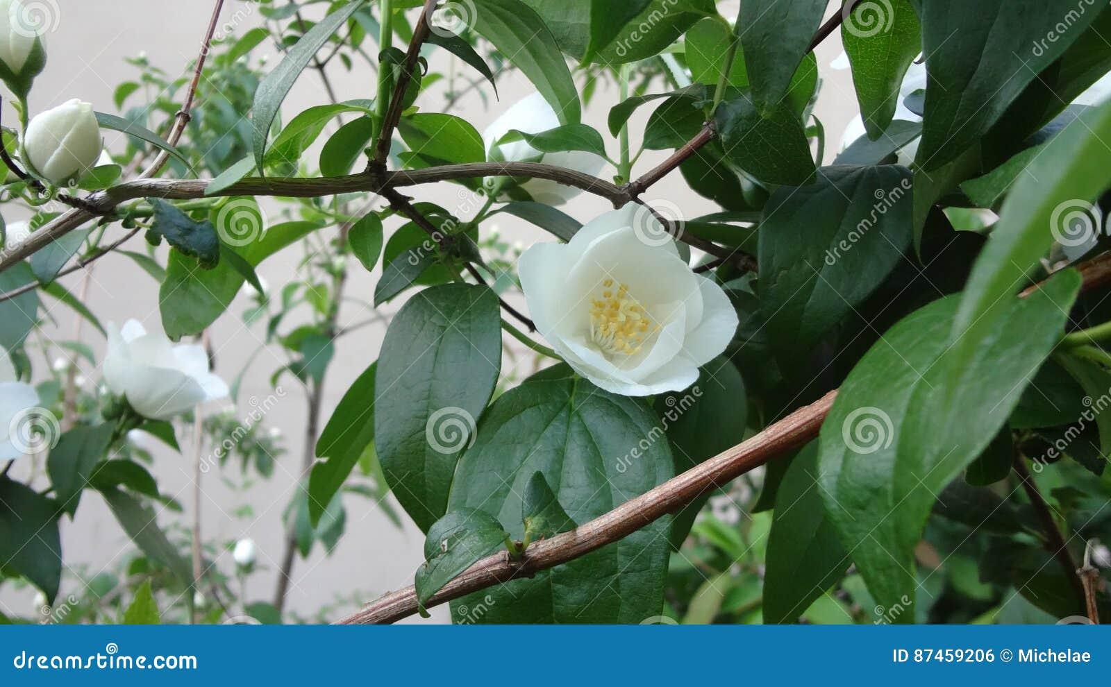 White Flowers Purity Stock Photo Image Of Symbols Petals 87459206
