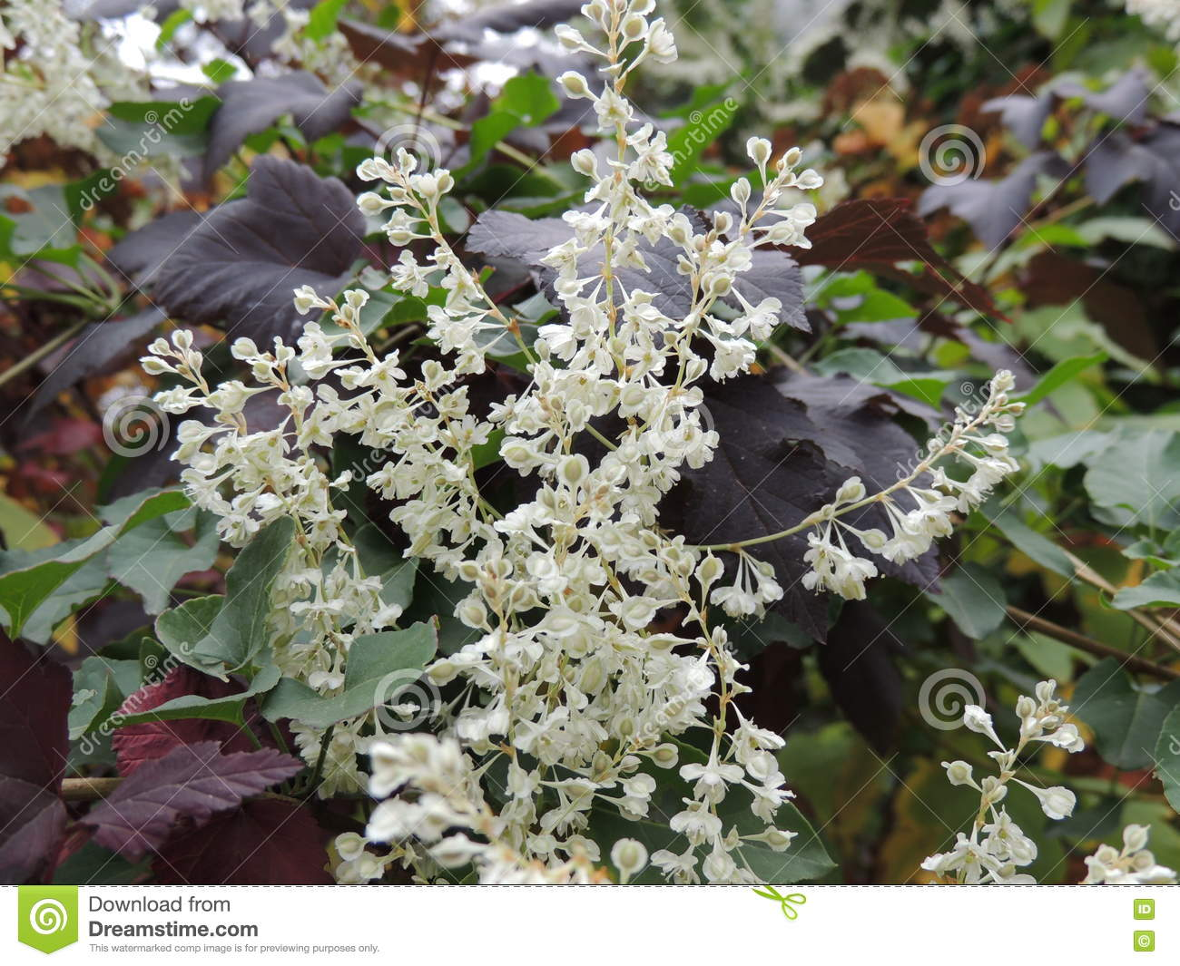 White Flowers On The Red Leaves In Autumn Garden Stock Photo Image