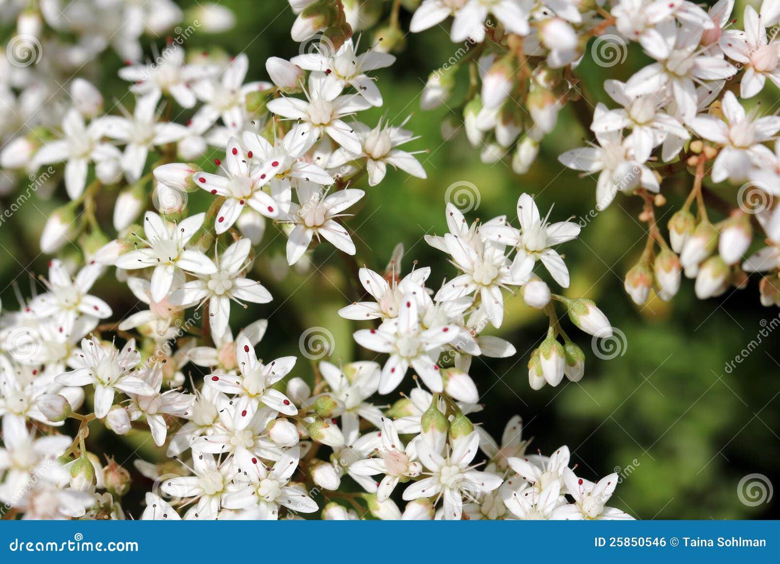 White flowers of Sedum album (White Stonecrop)