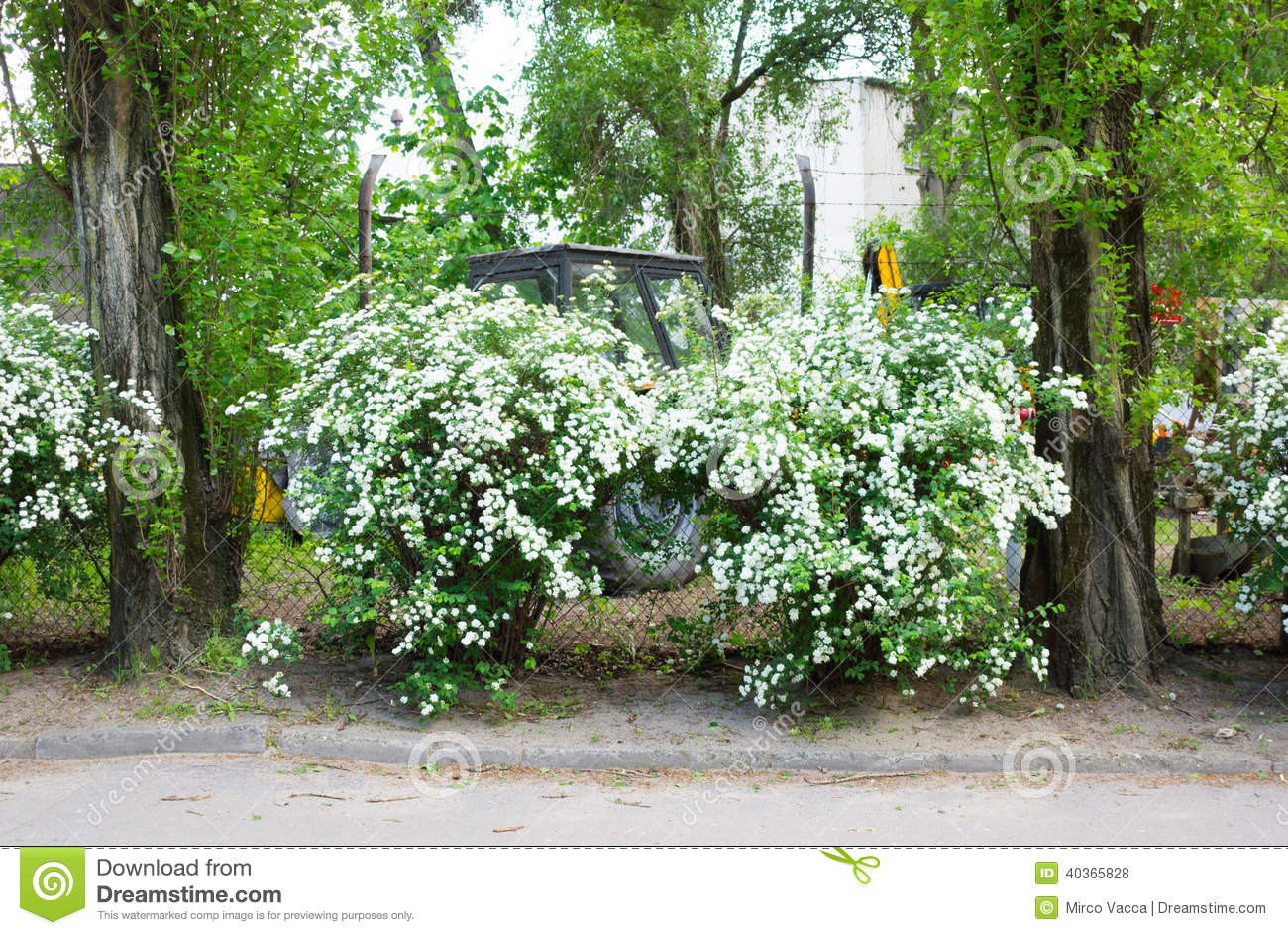 White Flowers Shrub Stock Photo Image Of White Street 40365828