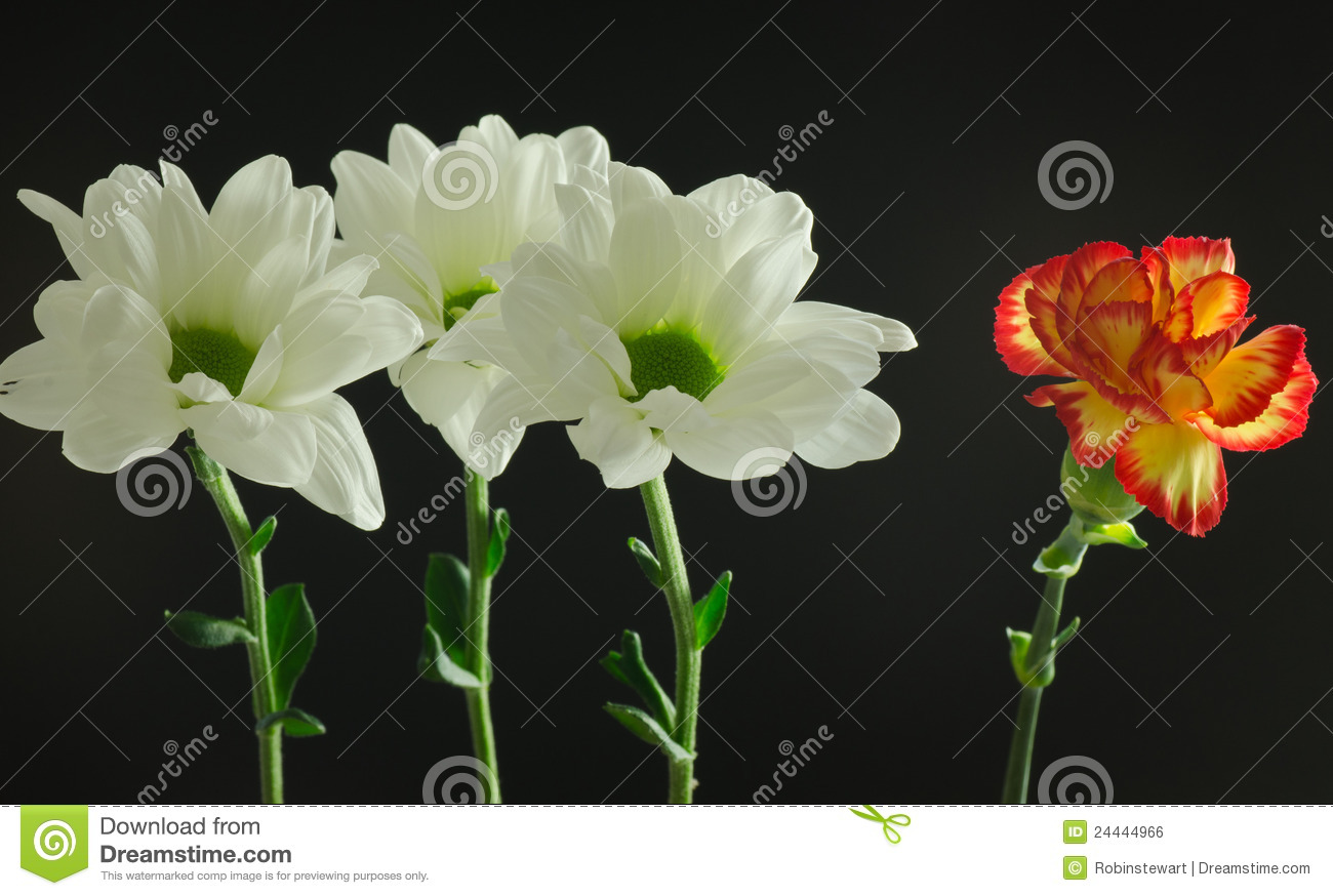 White Flowers With A Single Different Flower Stock Photo Image Of