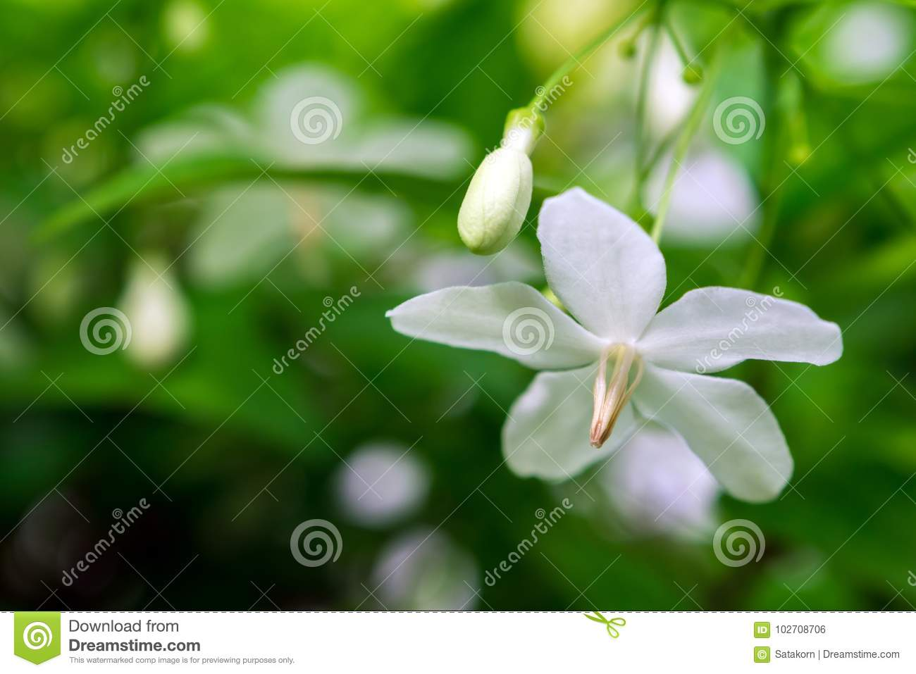 White Flowers Small And Fragile Moke Stock Photo Image Of