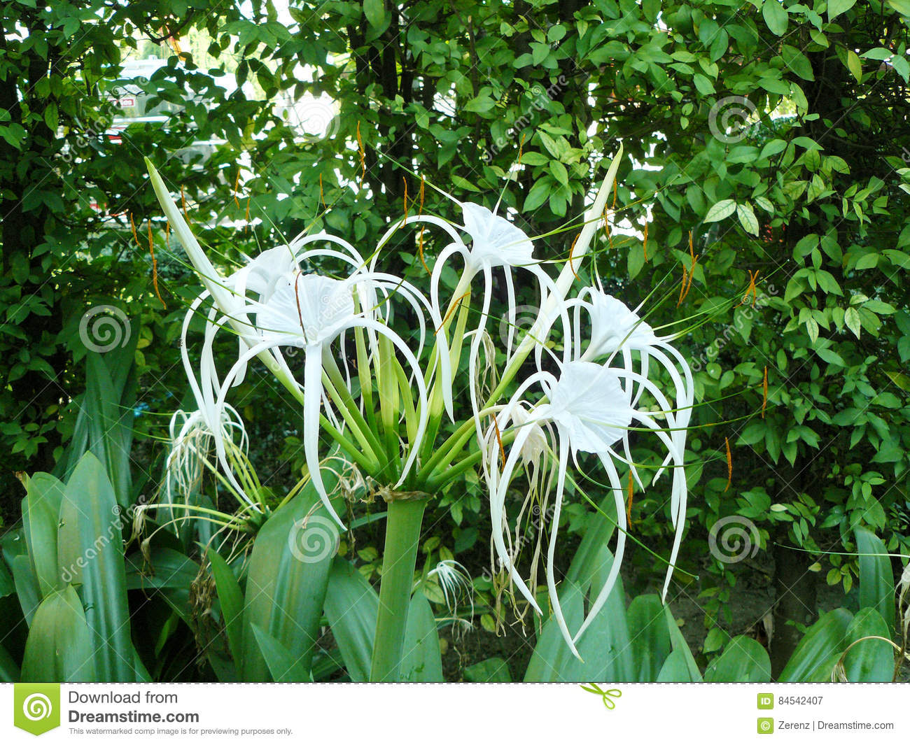White flowers spider lily stock image image of botanical 84542407 download comp izmirmasajfo