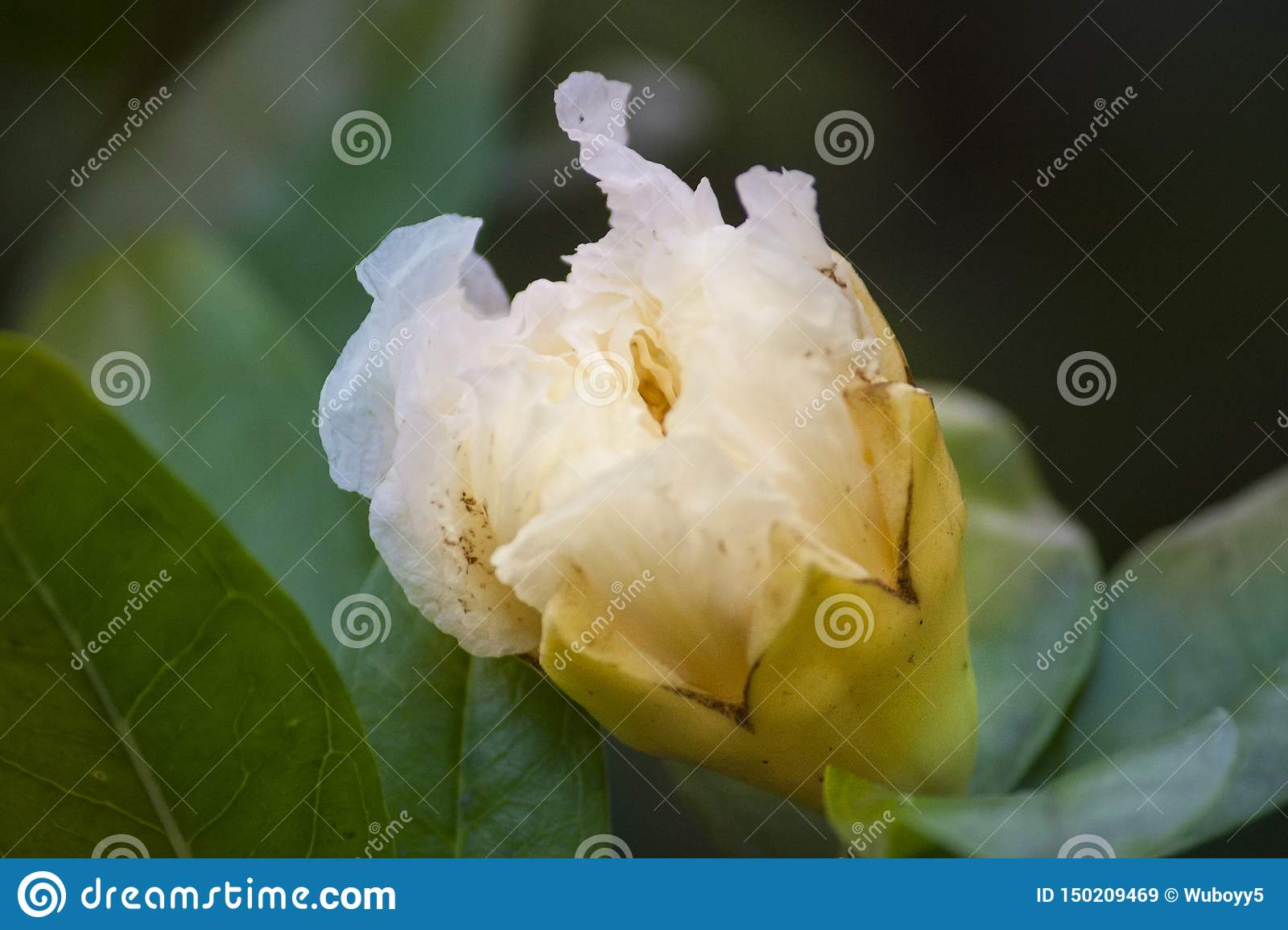 White flowers, translucent white flowers, hd flowers