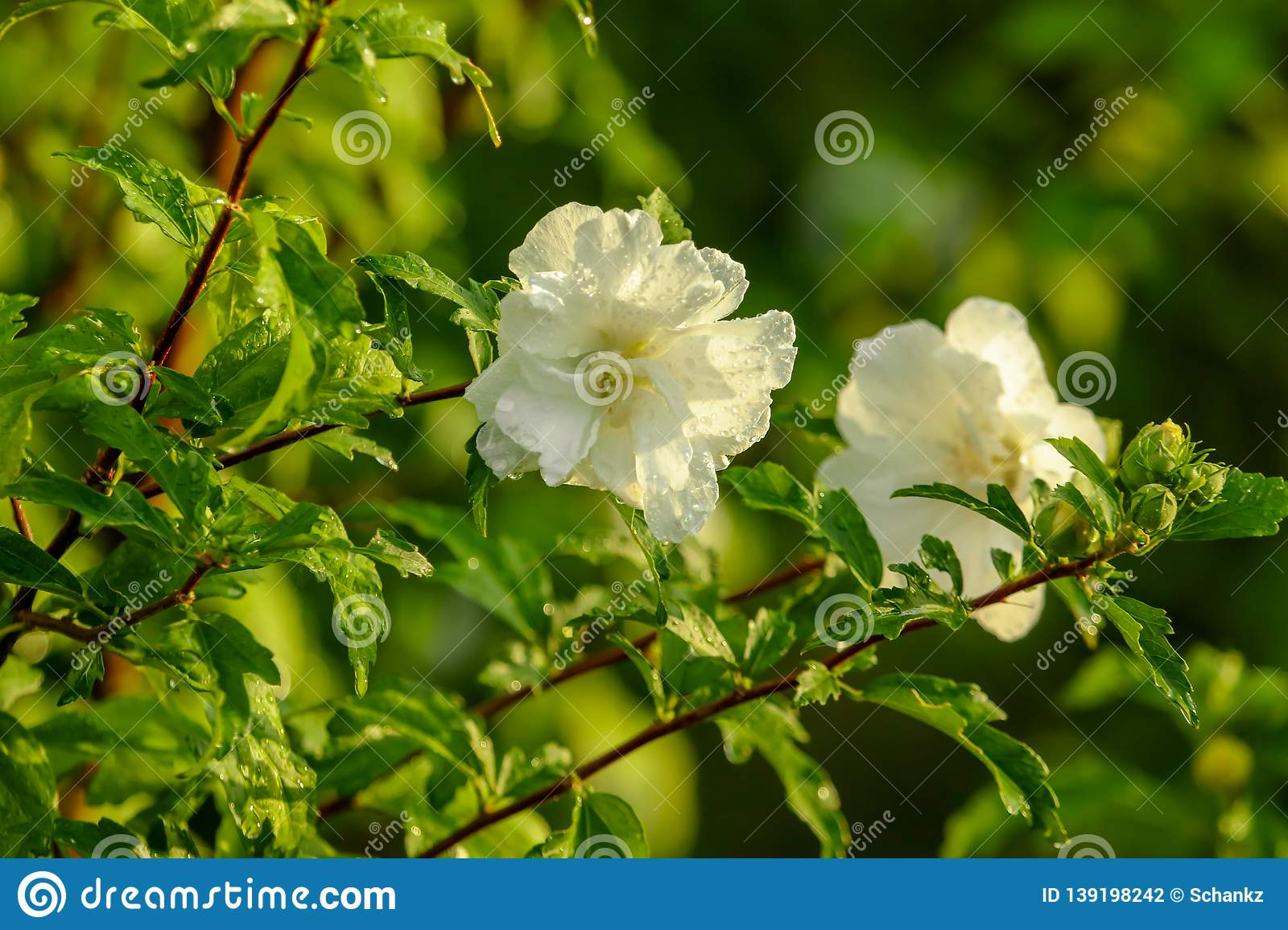 White flowers on a tree in the park