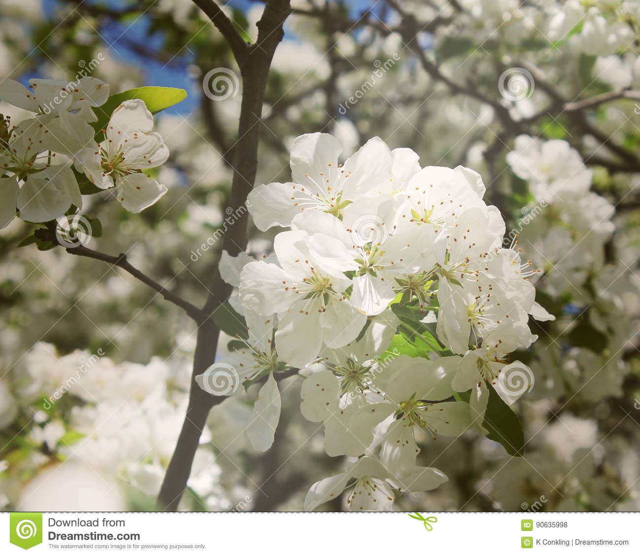 White Flowers On A Tree With Tiny Seeds In The Middle Stock Photo
