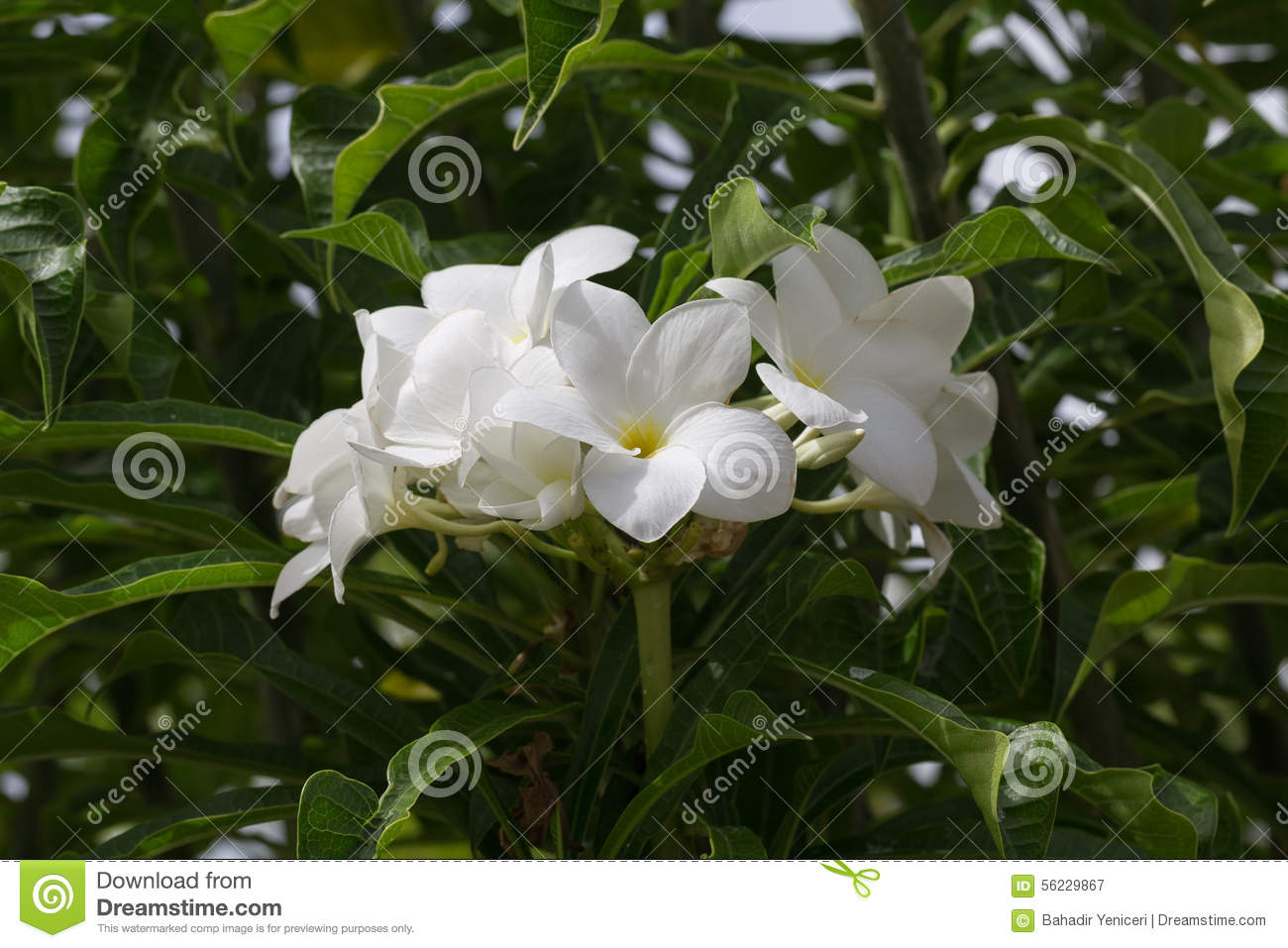 White flowers stock image image of glossy flowery beauty 56229867 download white flowers stock image image of glossy flowery beauty 56229867 mightylinksfo