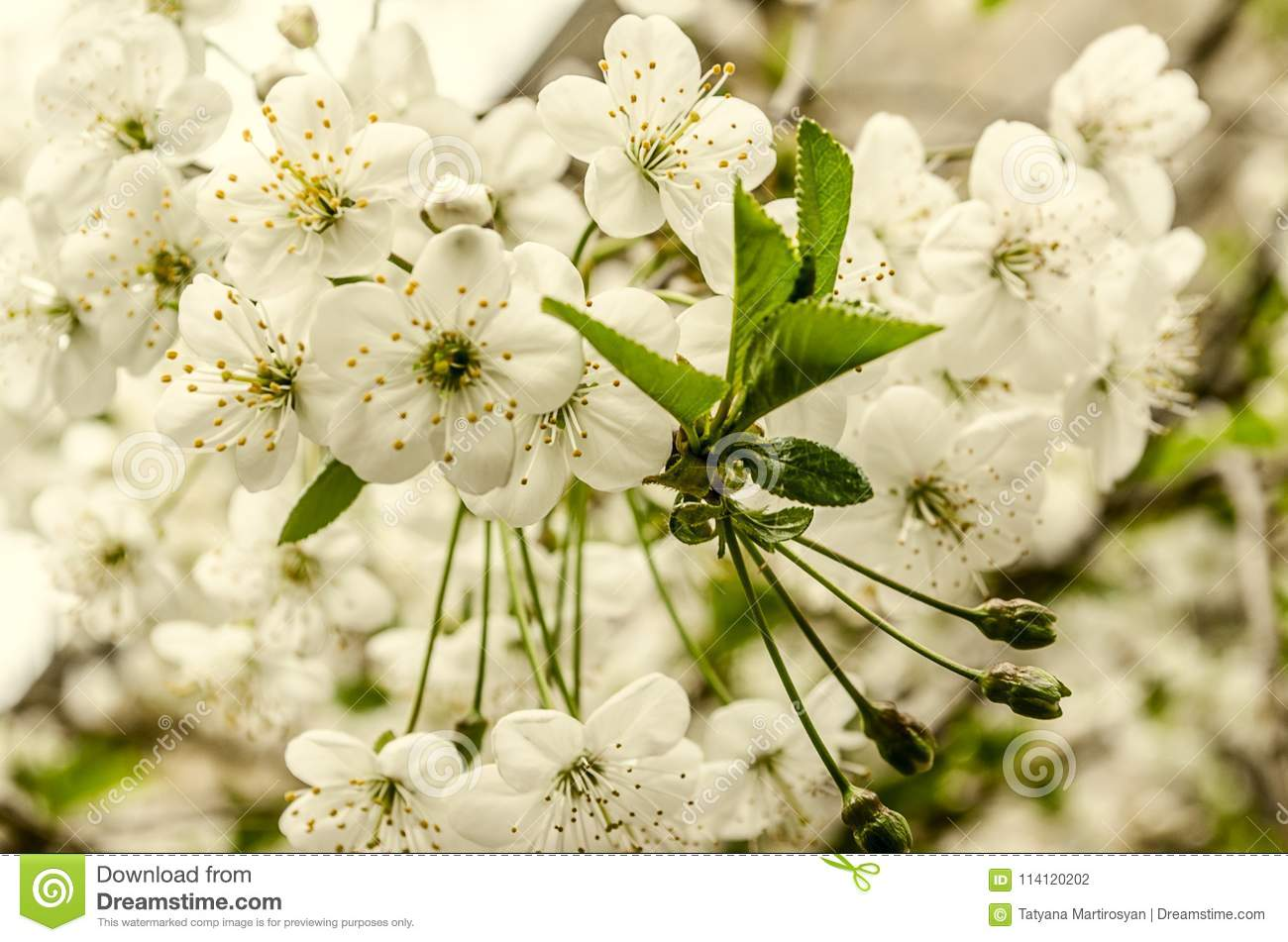 White flowers and unrevealed green leaves the cherry tree