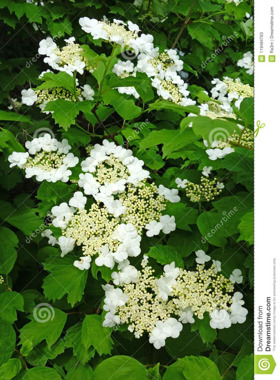 White Flowers Of The Viburnum Stock Image Image Of Snowball Bush