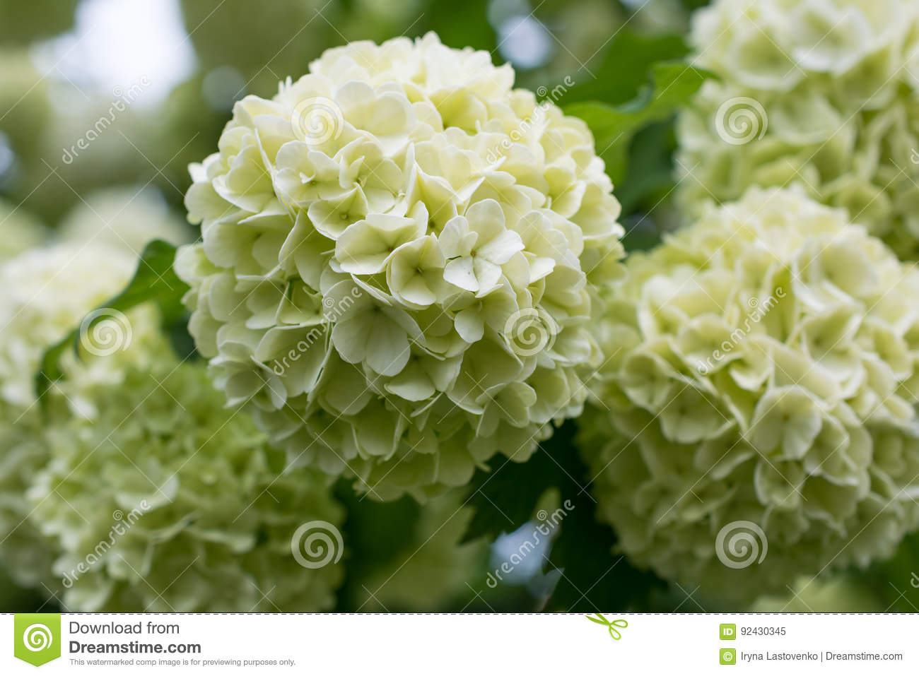 White flowers of viburnum snow ball in spring garden stock image download white flowers of viburnum snow ball in spring garden stock image image of mightylinksfo
