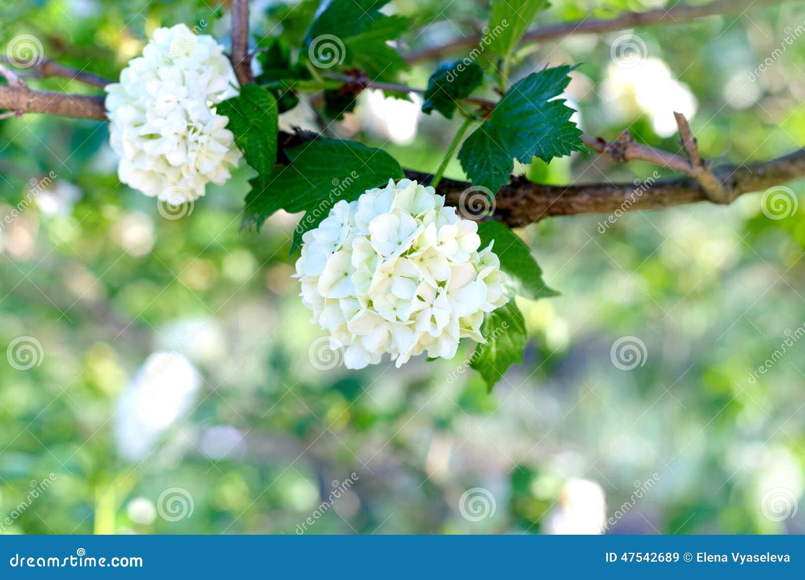 White Flowers Viburnum Stock Image Image Of Lentago 47542689