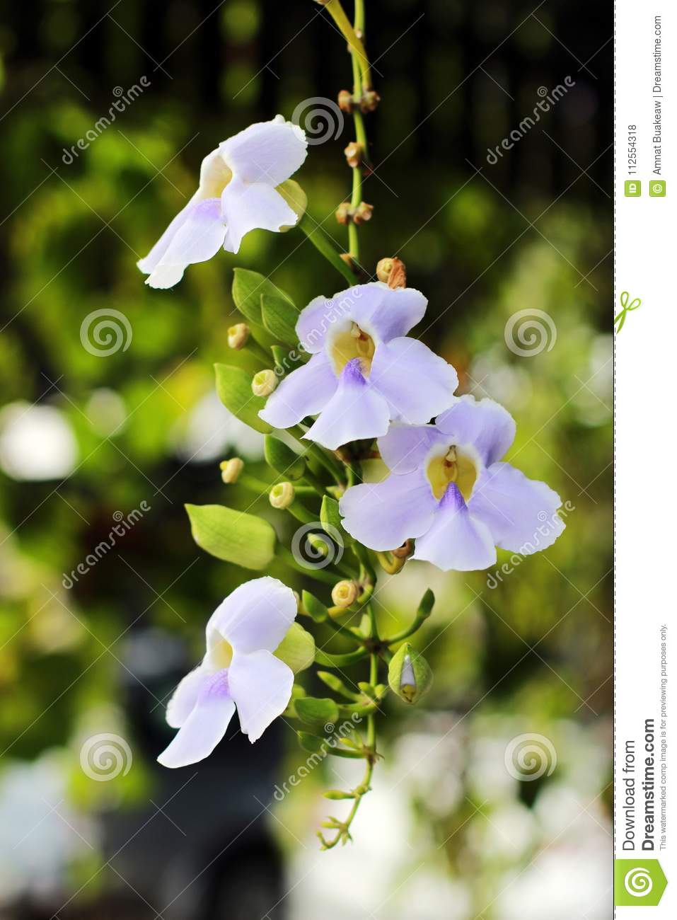 Flowers Vine White Purple With Bushy Beautiful On Soft And Blur