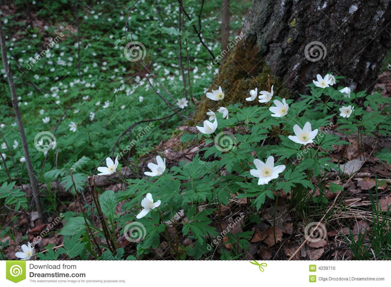 White Flowers In The Woods Stock Photo Image Of Annuals