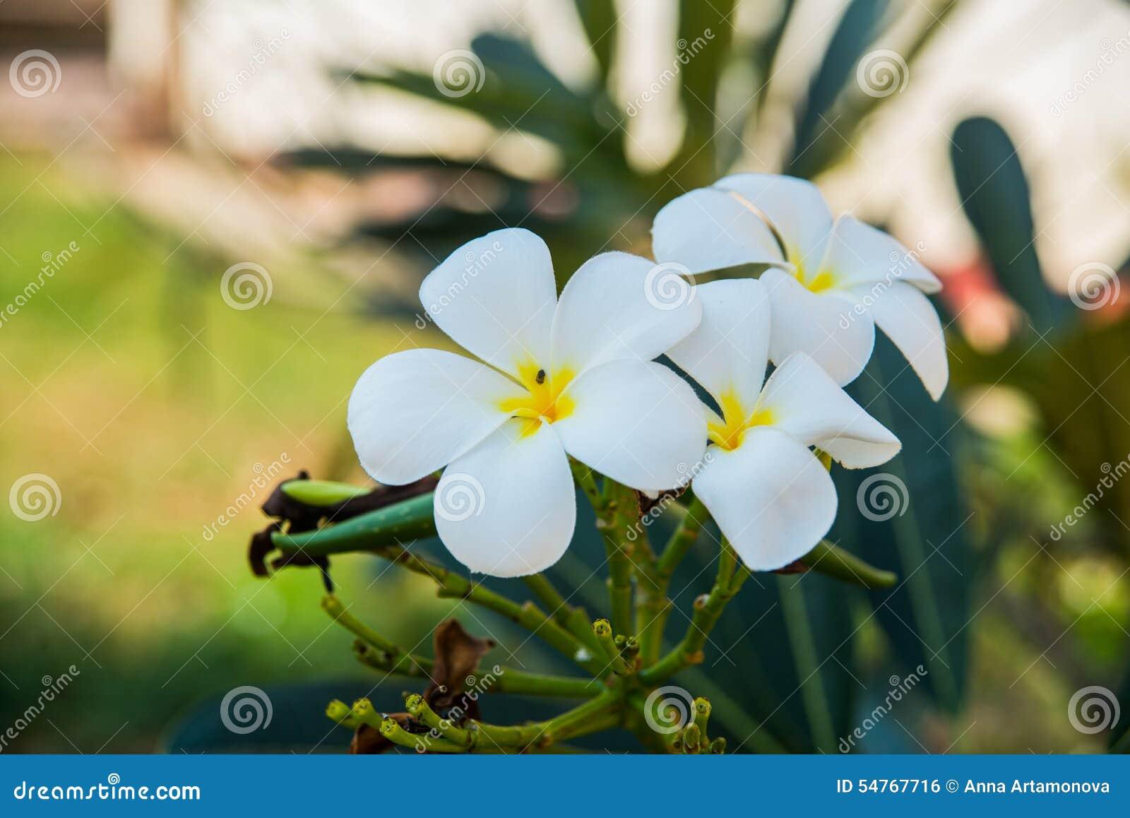 White Flowers With A Yellow Centerumeria Stock Photo Image Of