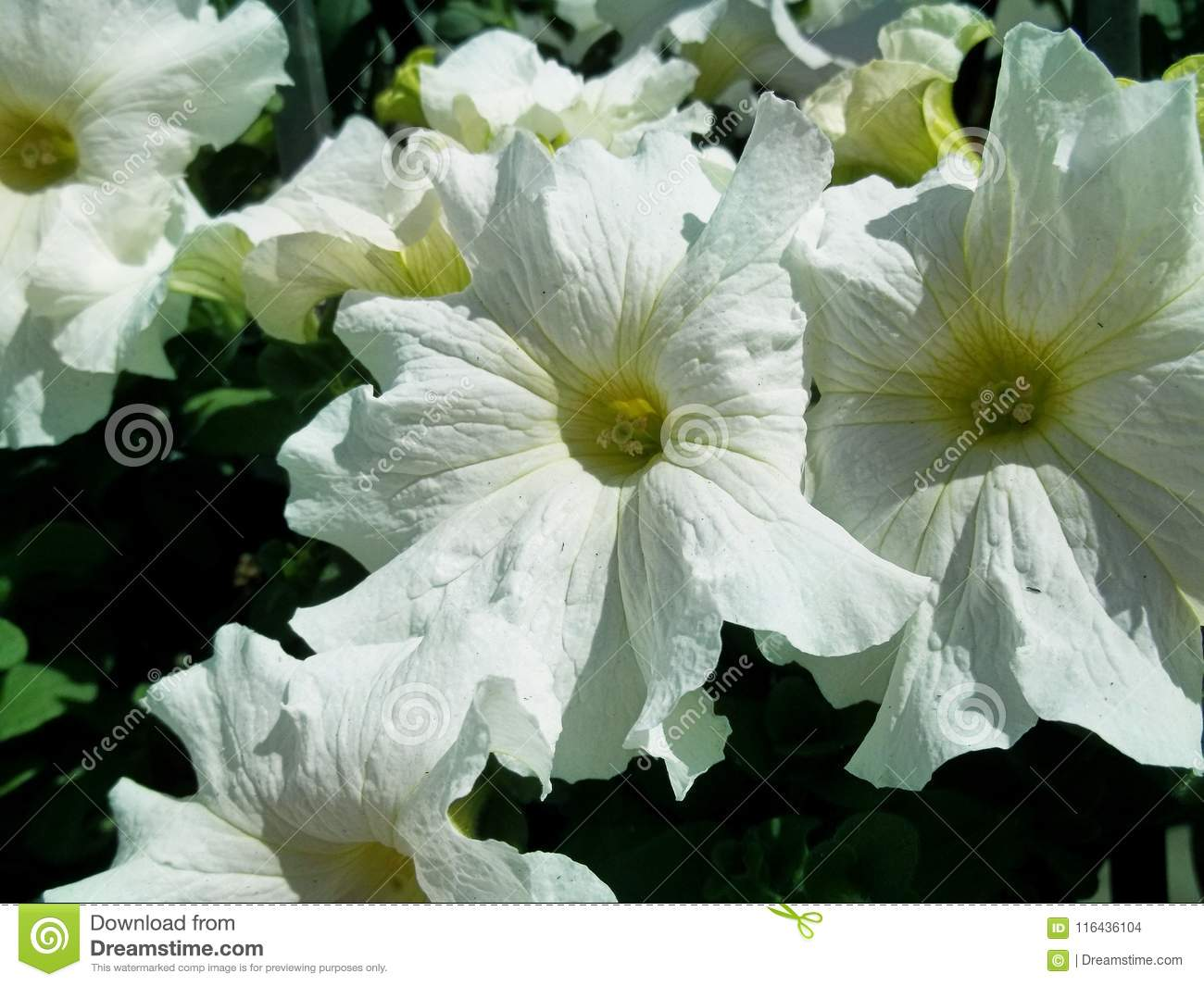White Delight Soft Spring Stock Photo Image Of White 116436104