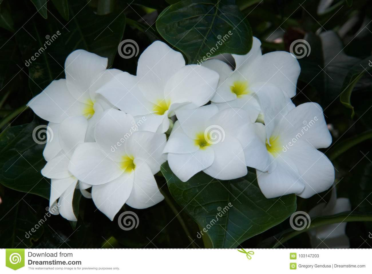 White Flowers With Yellow Green Center Stock Image Image Of