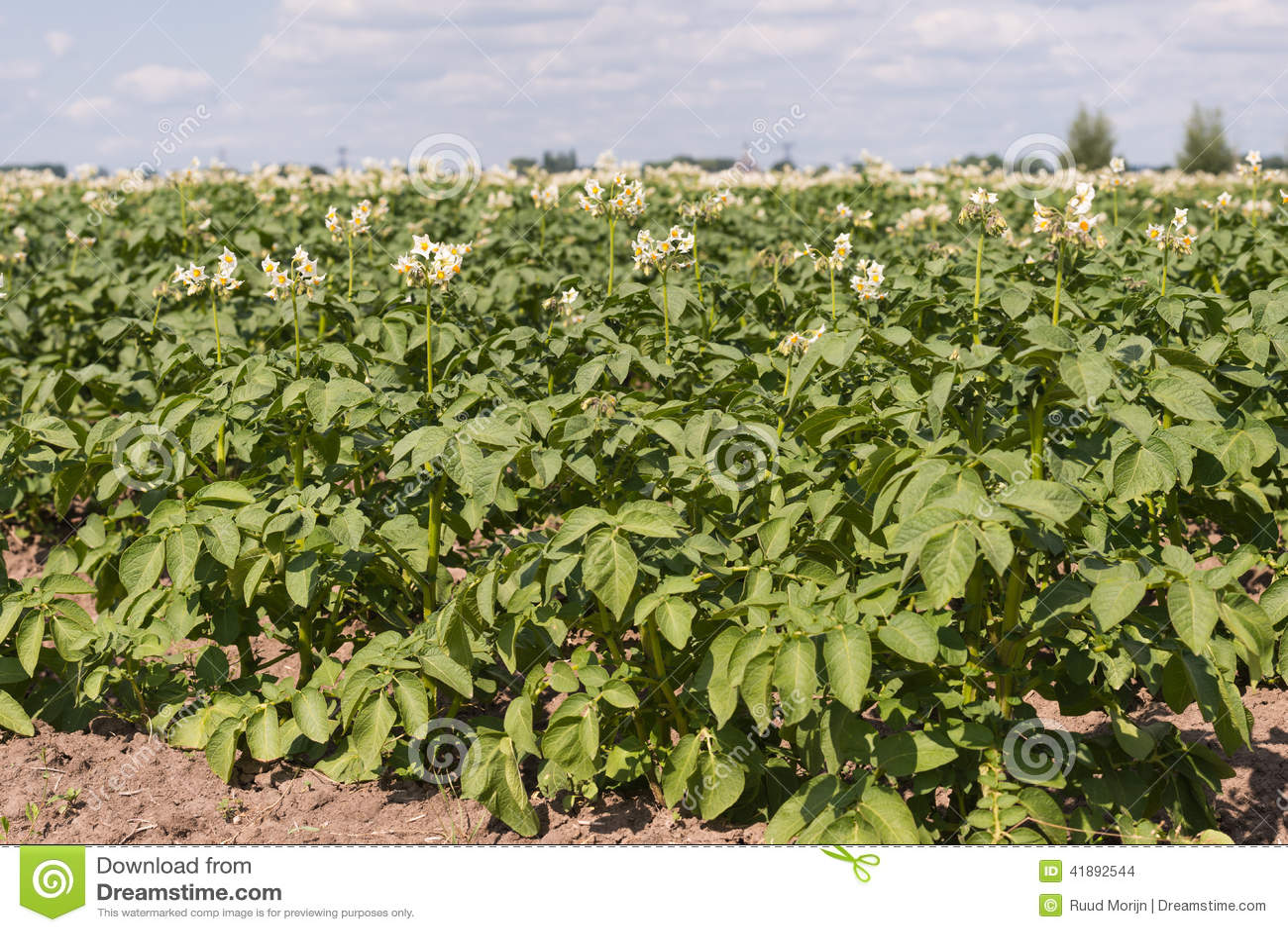 White Flowers With Yellow Stamens Of Potato Plants Stock Photo