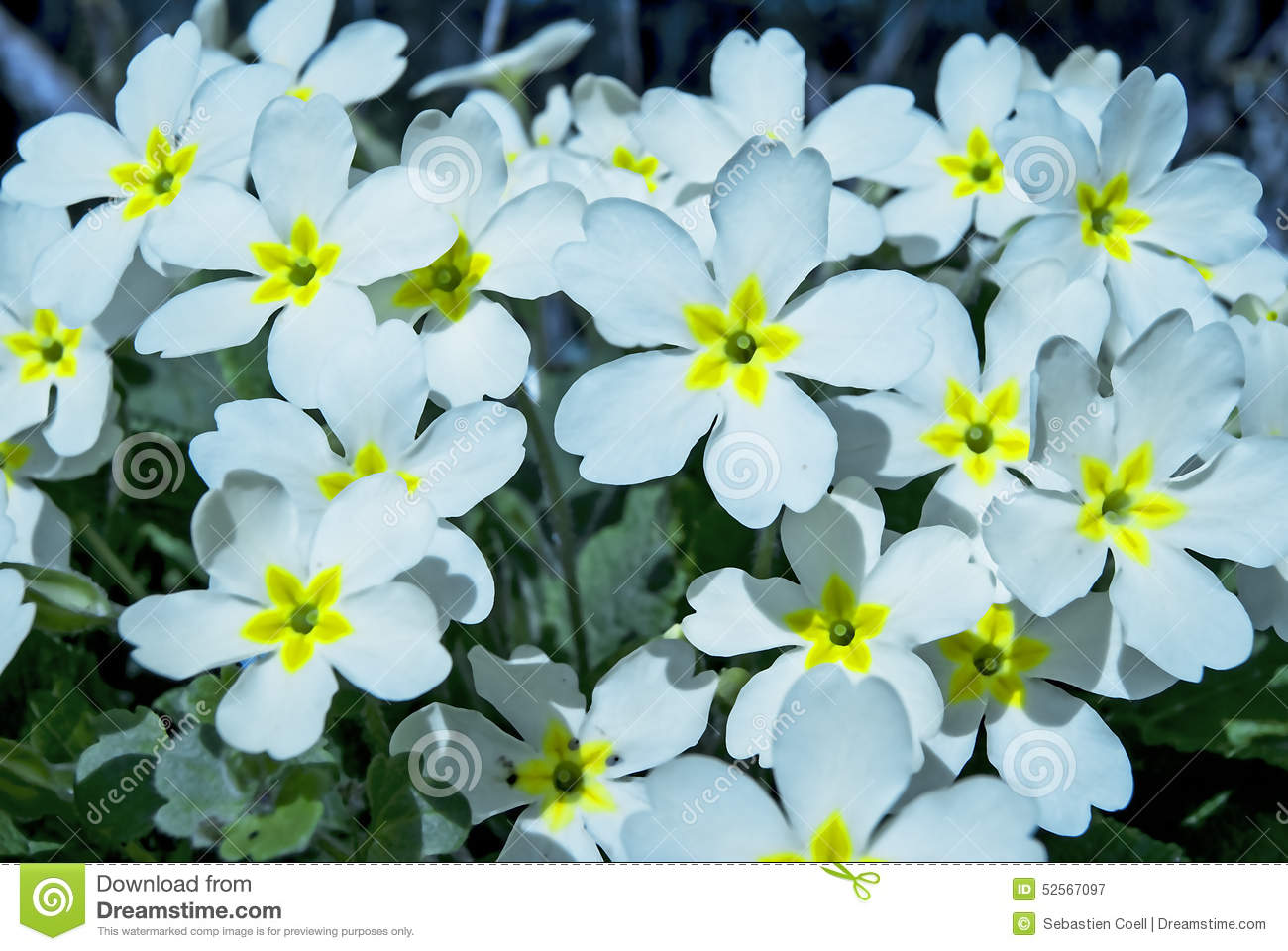 White Flowres With A Yellow Center Stock Image Image Of Stems