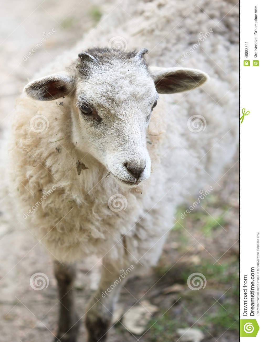 White Fluffy Baby Sheep Close Up Portrait Stock Photo ...