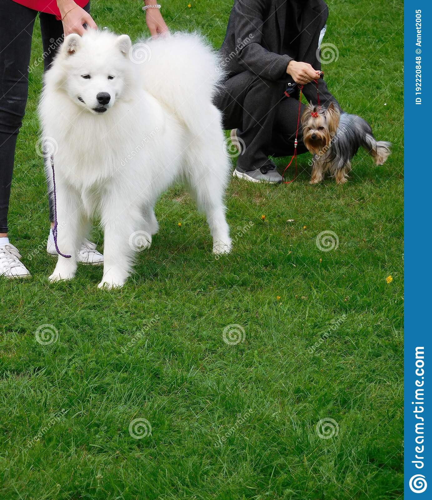 White Fluffy Cute Smiling Samoyed Dog And Adorable Little Yorkshire Terrier On A Background Of Green Grass At A Dog Show Stock Photo Image Of Lawn Jelkier 192220848