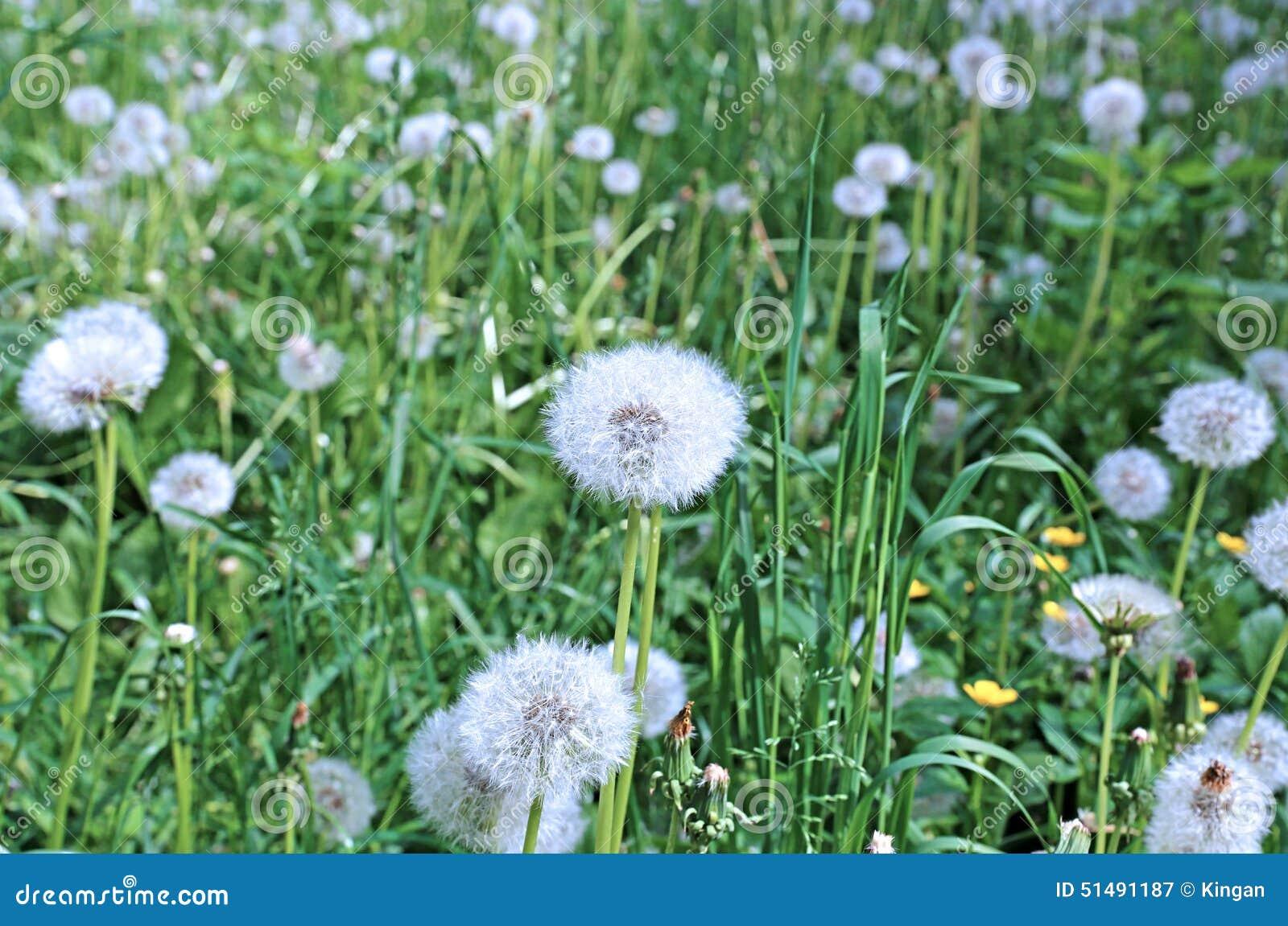 White fluffy dandelion flower stock image image of weed flowers white fluffy dandelion flower mightylinksfo