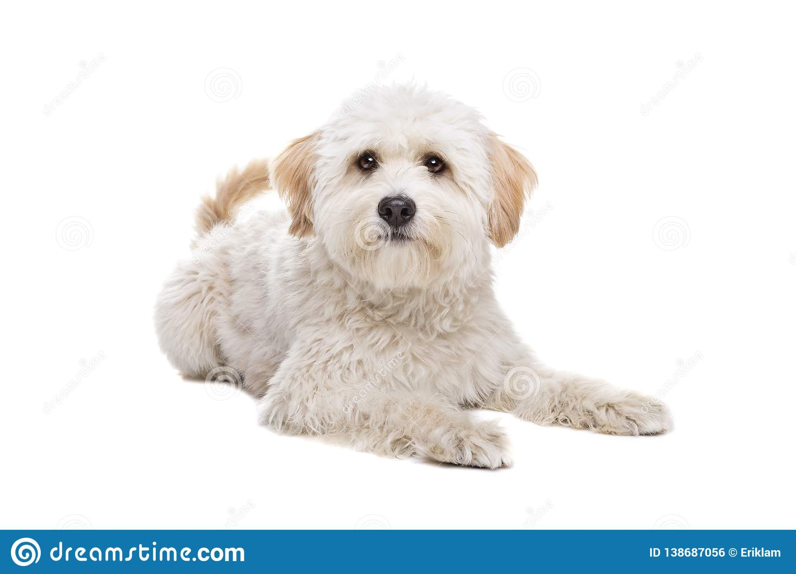 White Fluffy Dog Stock Photo Image Of Fluffy Small 138687056