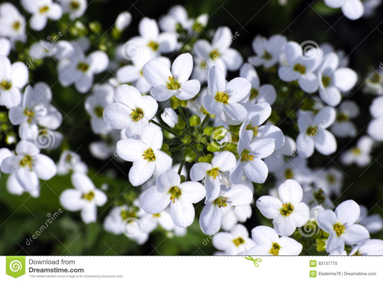 White Forget Me Not Flowers Stock Photo Image Of Nobody Forget
